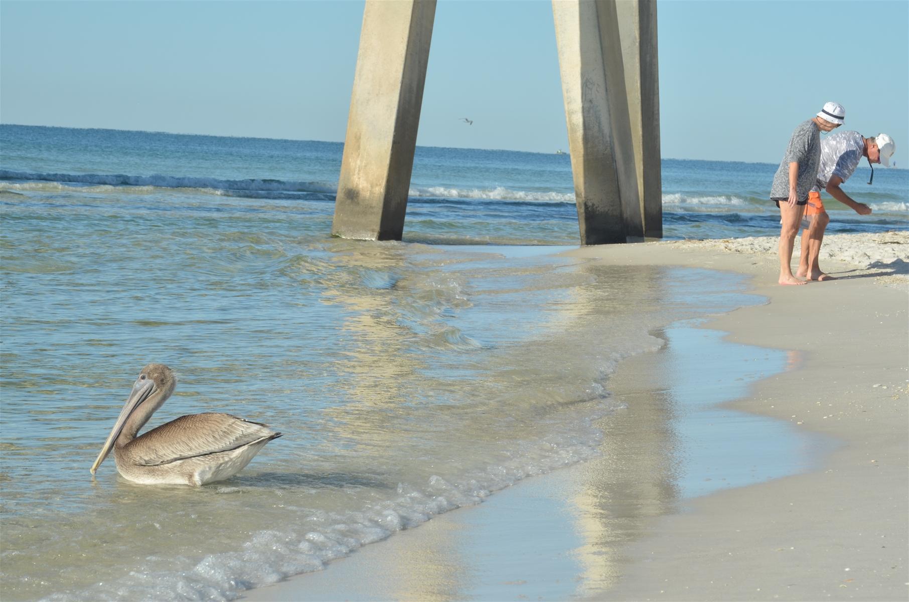 navarre beach pelican near pier